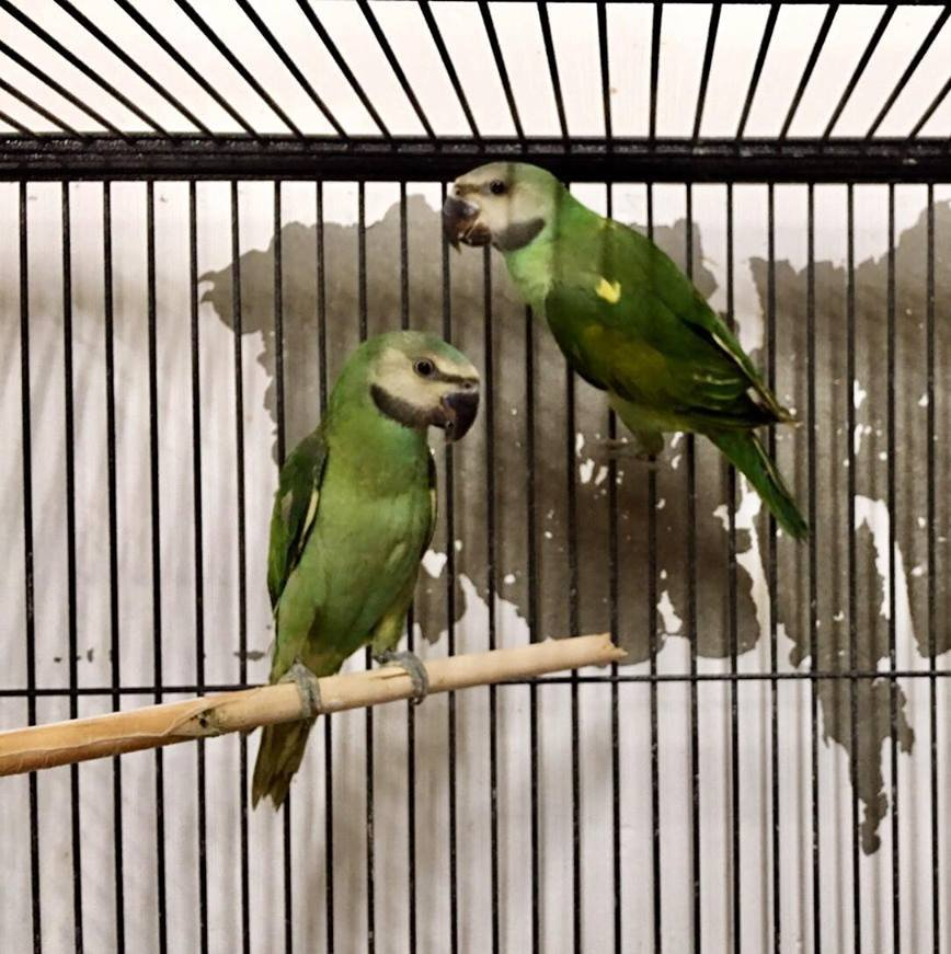 Parrots For Sale Melbourne | Visit our store Today | CALL 1300 MY BIRD