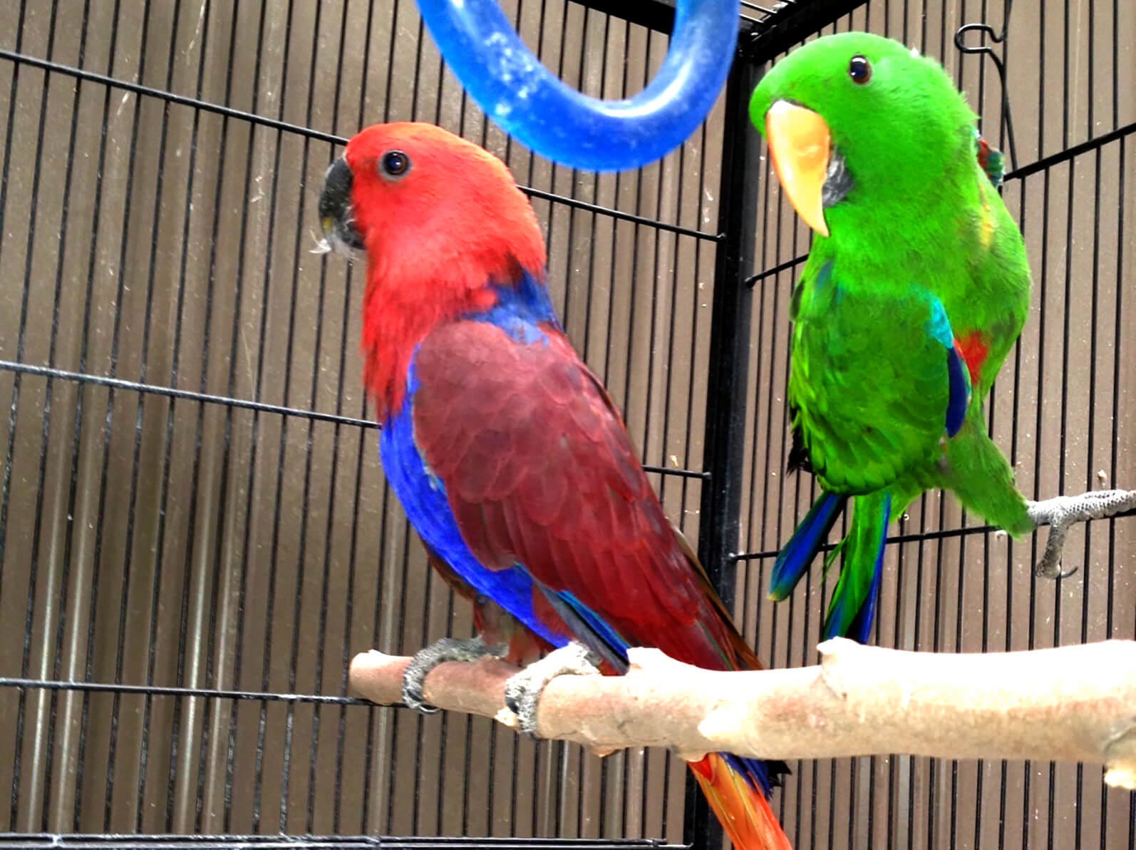 Eclectus Parrot Melbourne | Tame and Talking Eclectus | CALL